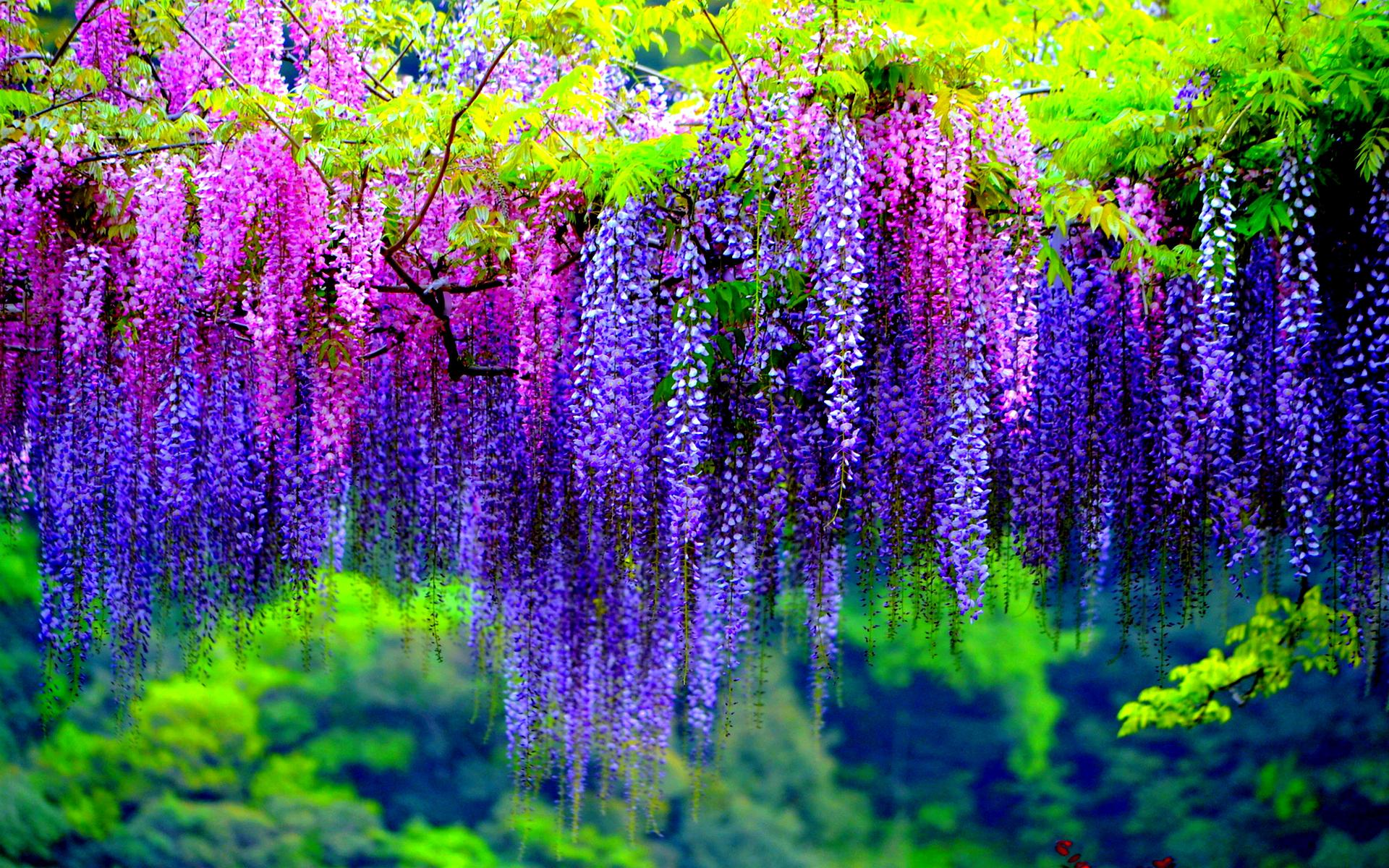 colorful wisteria wallpapers