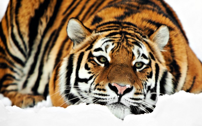 cool tiger wallpapers