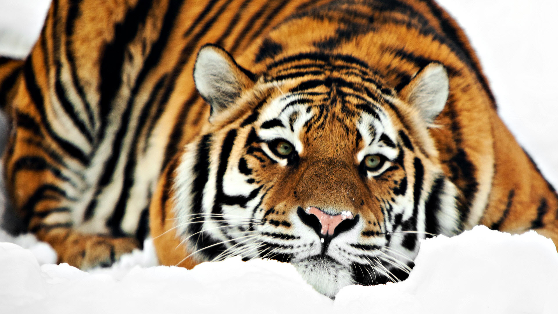 Cool Tiger Wallpapers Hd Desktop Wallpapers 4k Hd