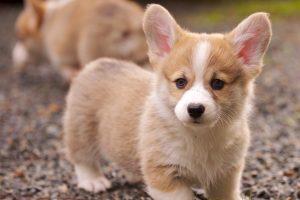 corgi cute dog