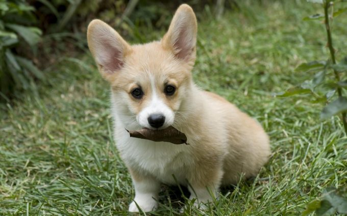 corgi photos