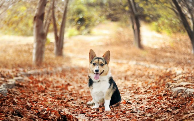 corgi wallpapers nature
