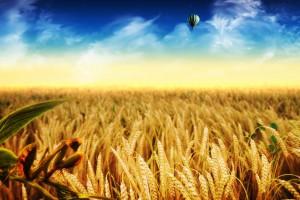 corn field desktop