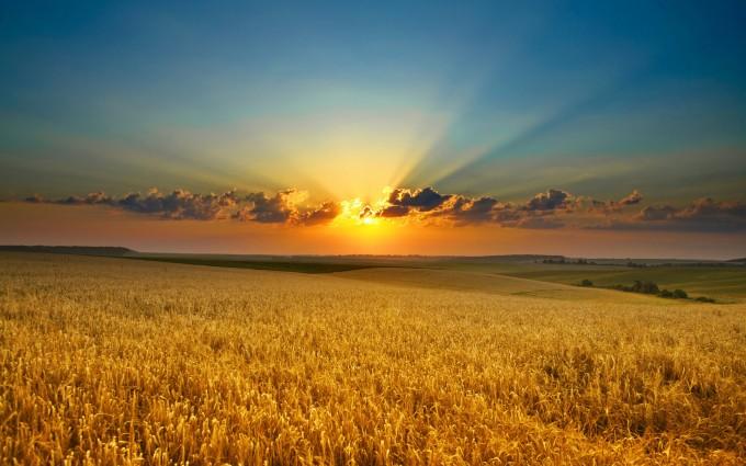 corn field wallpaper desktop