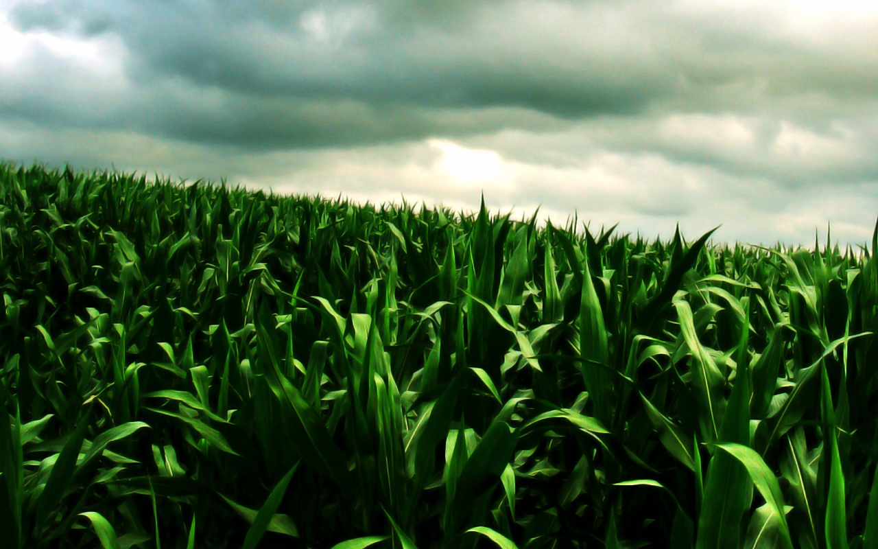 corn wallpaper green