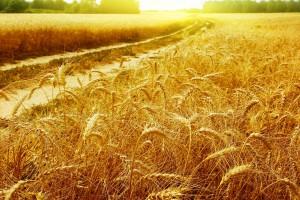 corn wallpaper summer