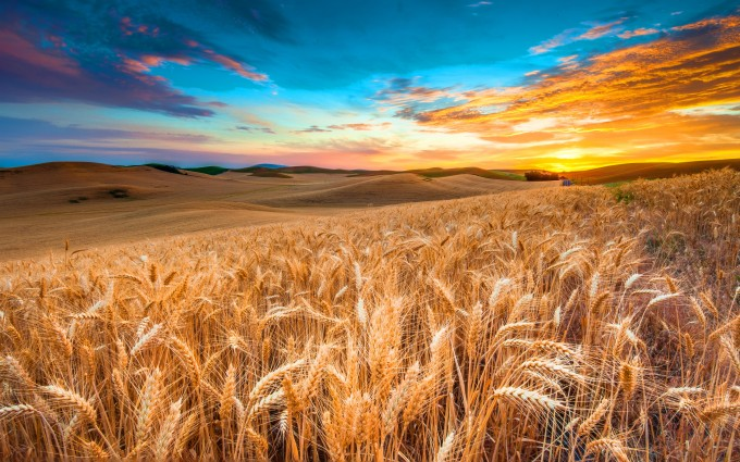 Wallpaper Field 4k Hd Wallpaper Wheat Spikes Sky: Corn Wallpapers - HD Desktop Wallpapers