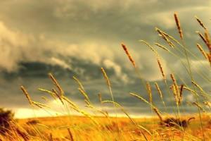 cornfield backgrounds