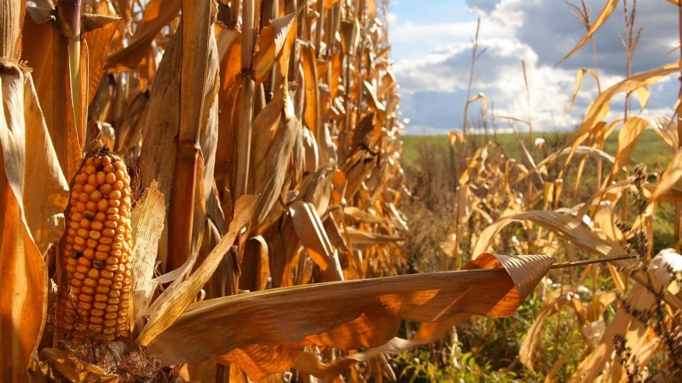 cornfield wallpaper