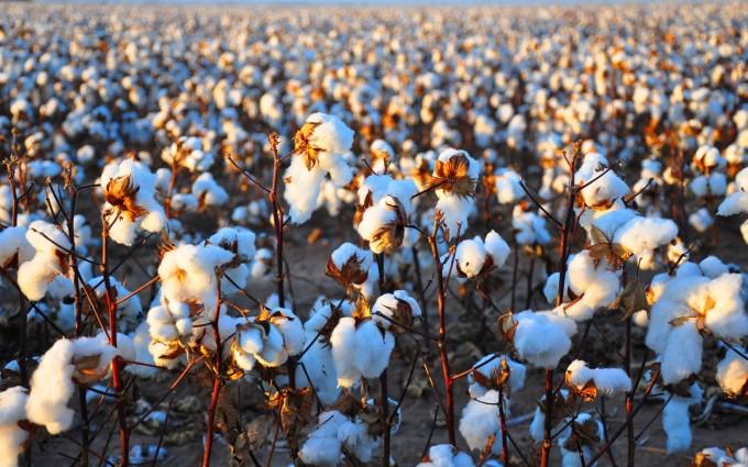 cotton field wallpaper hd