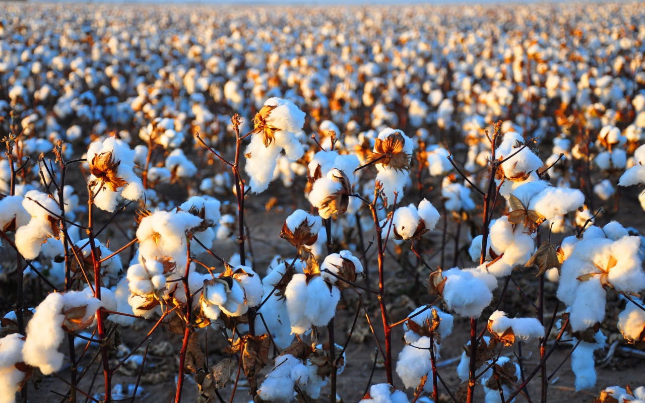 cotton field wallpaper hd