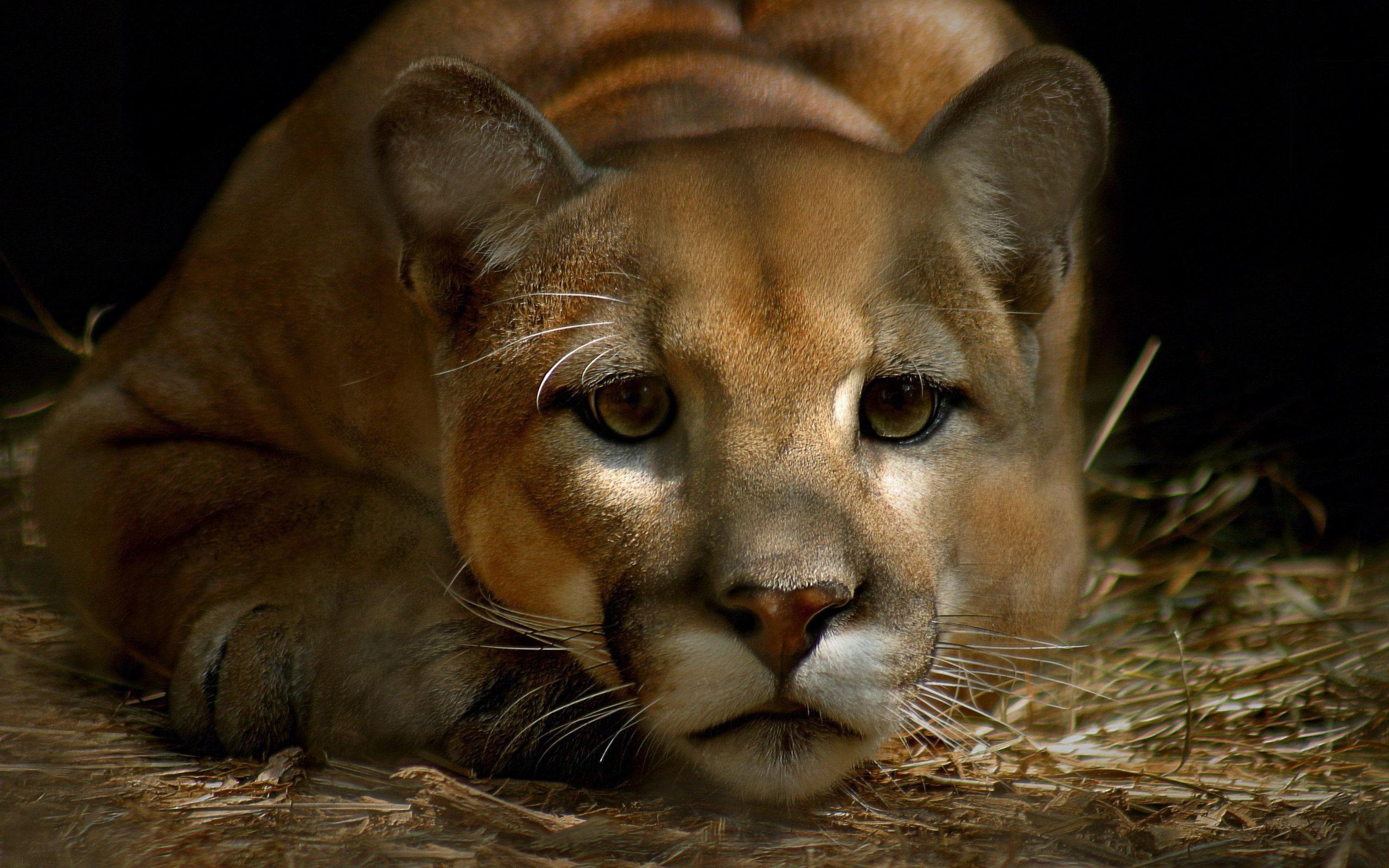 cougar animal wild