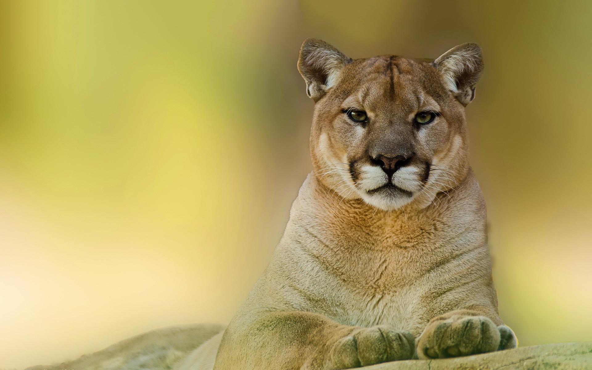 cougar cat