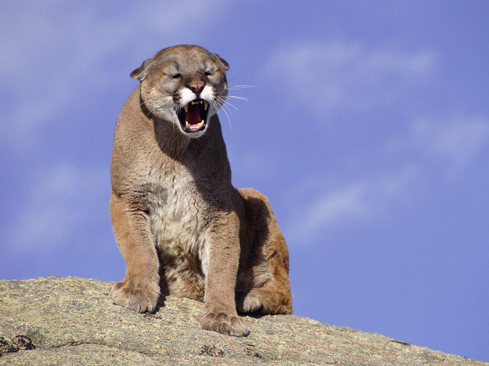 cougar photos - hd desktop wallpapers | 4k hd