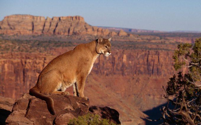 cougar wallpaper canyon