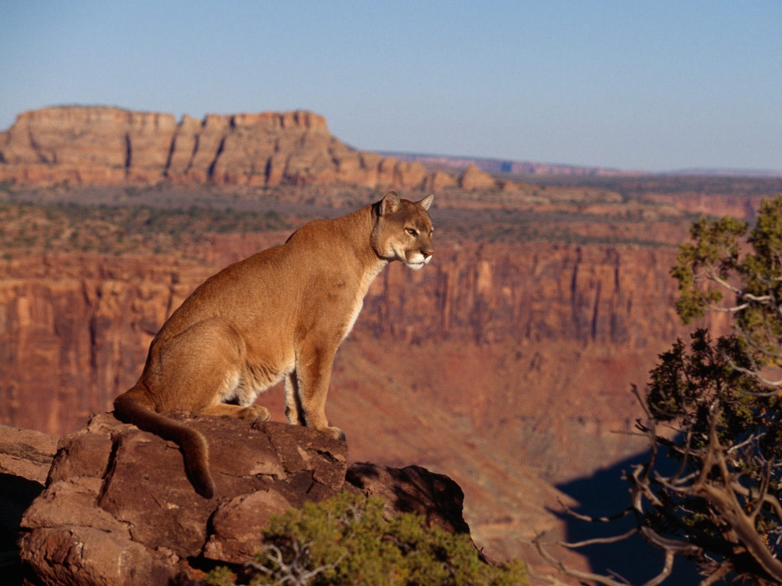 cougar wallpaper canyon