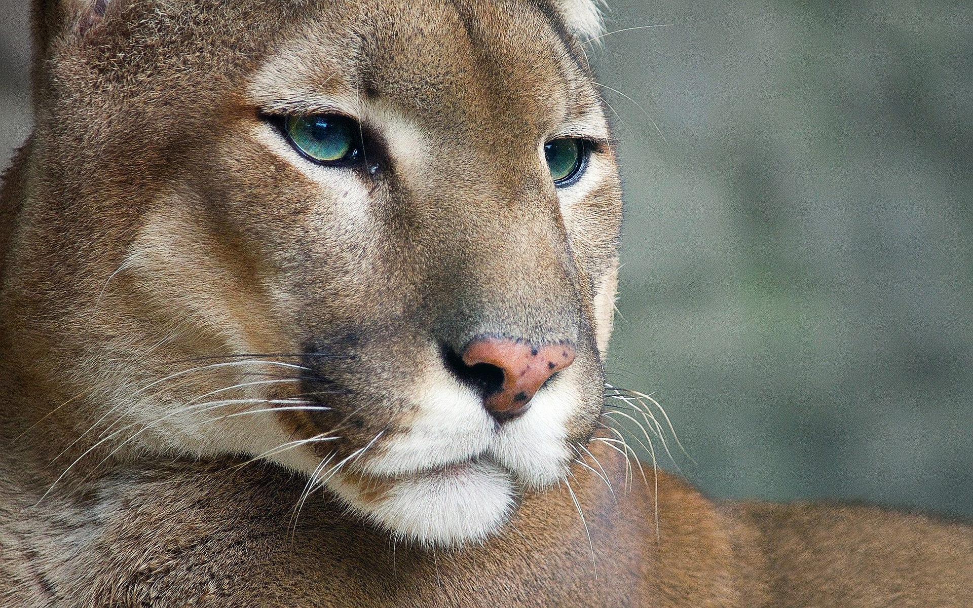 cougar wallpaper hd