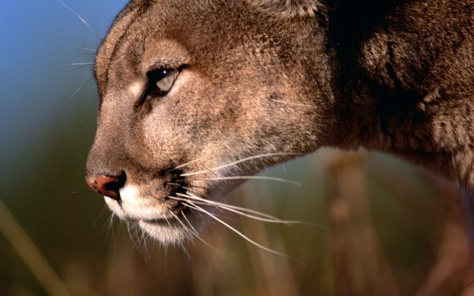 cougar wallpaper hunting