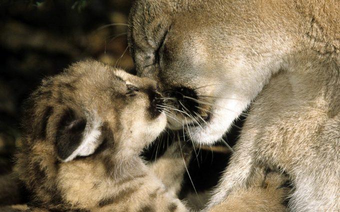 cougar wallpaper love