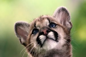 cougar wallpaper pup