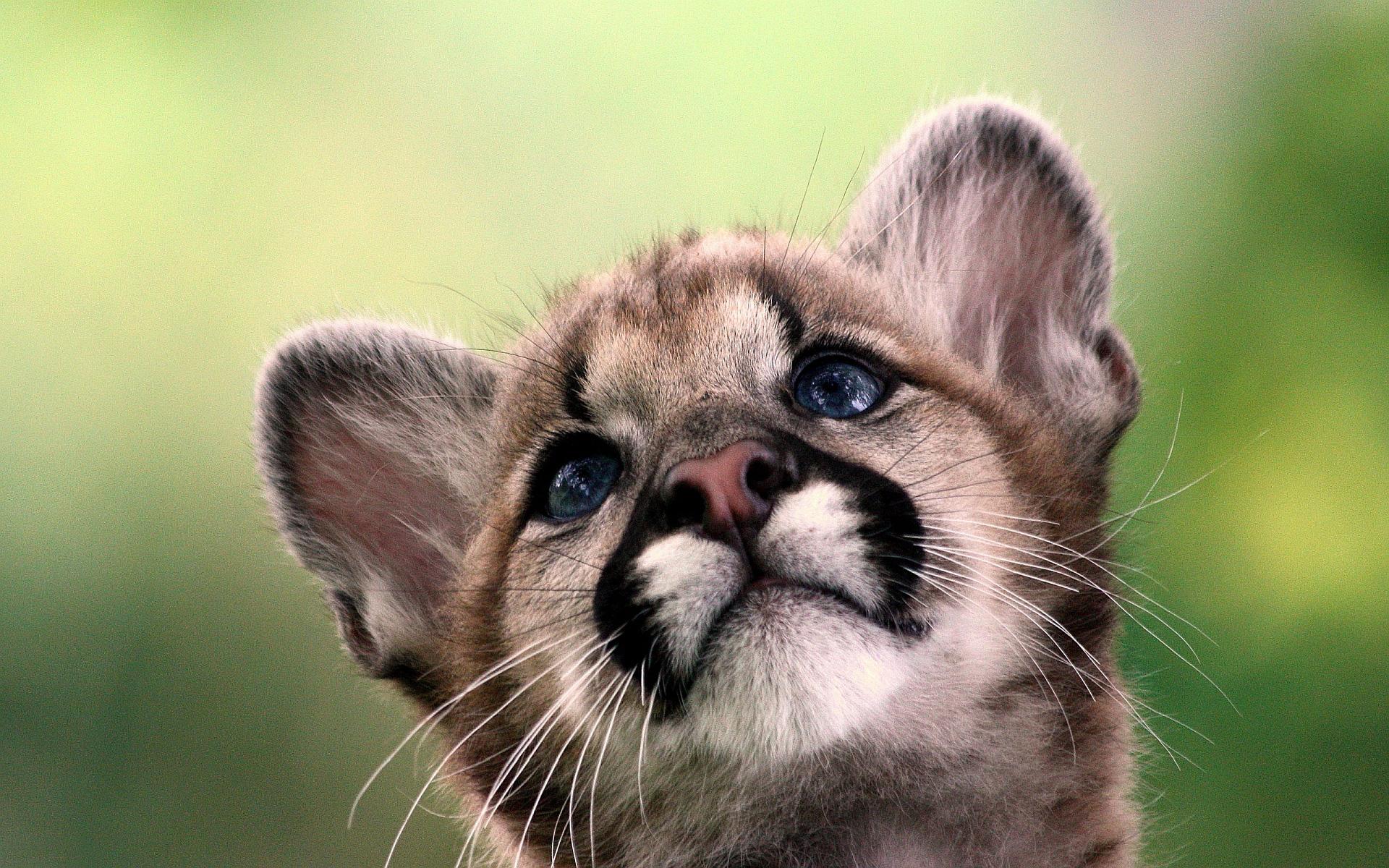 cougar wallpaper pup