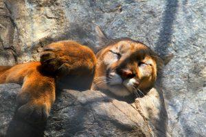cougar wallpaper sleeping