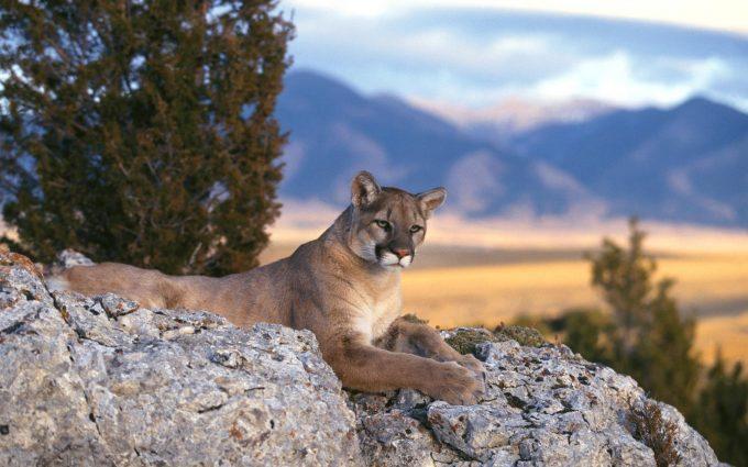 cougar wallpaper sunset