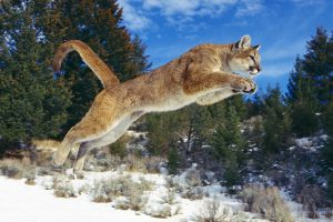 cougar wallpapers