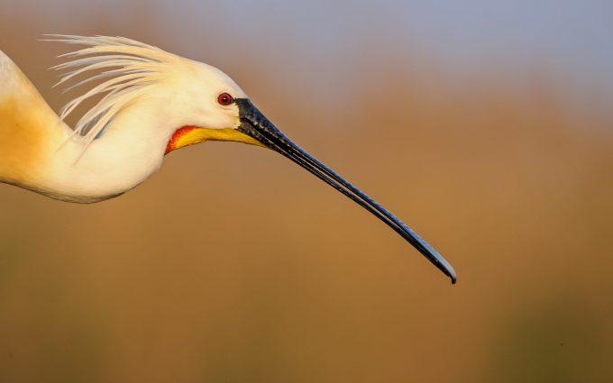 crane bird breed