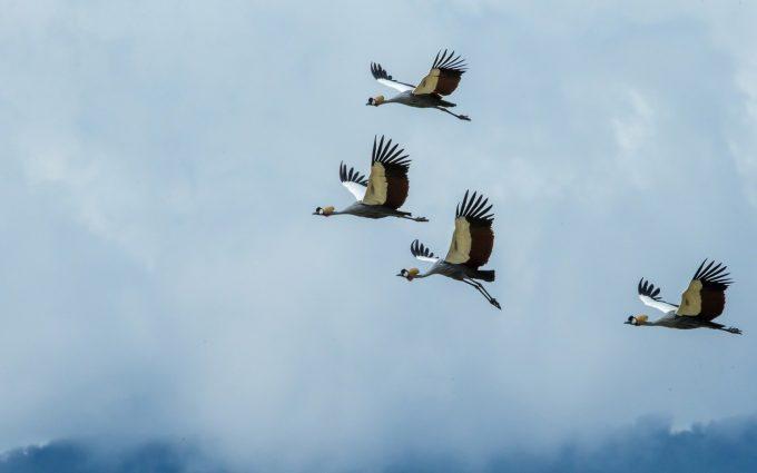 crane bird picture