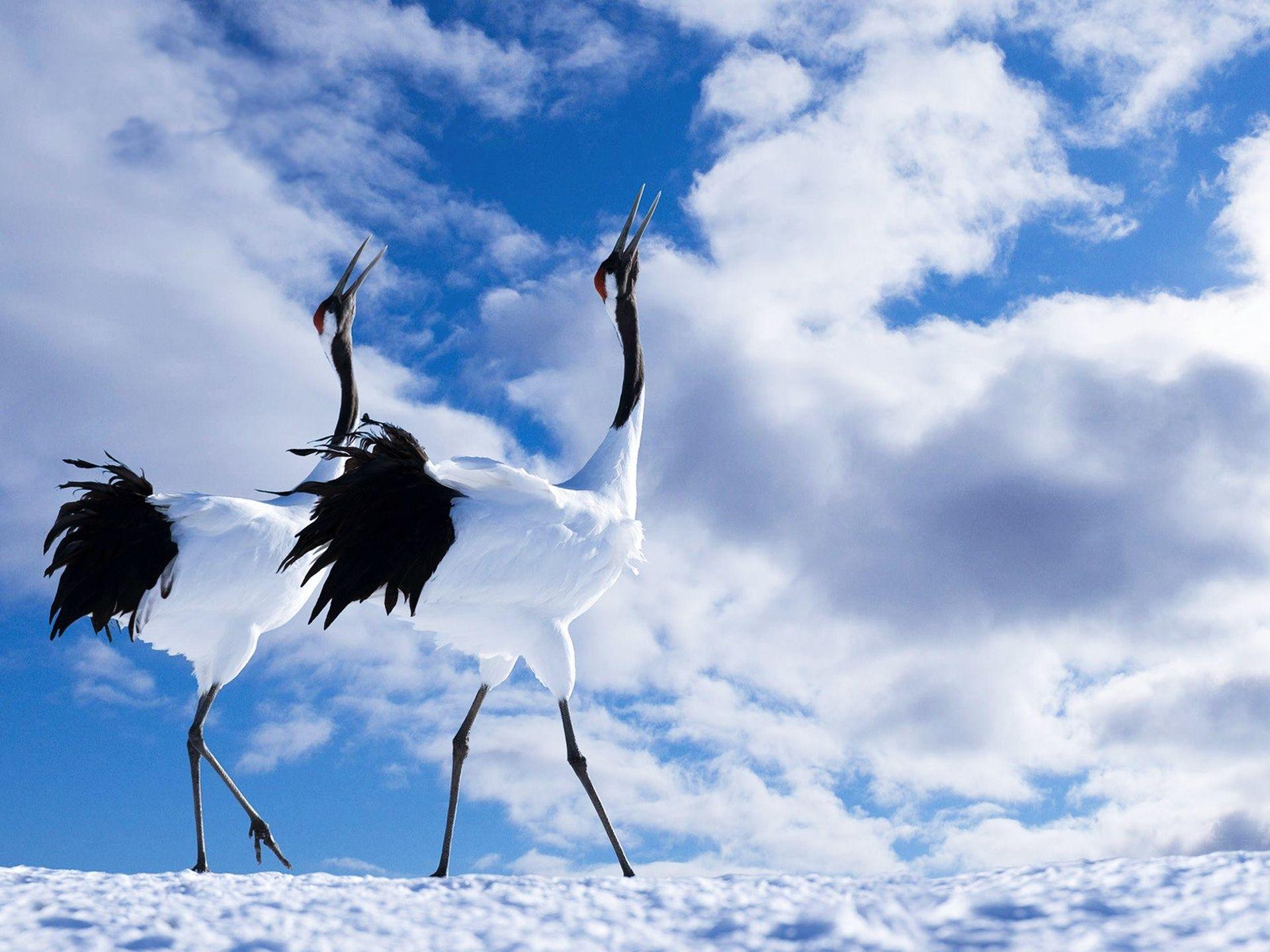 crane bird wallpaper hd