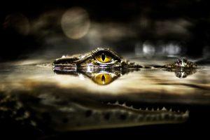 crocodile eye hd