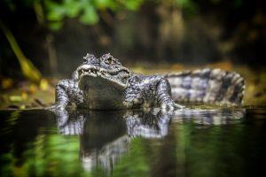 crocodile hd
