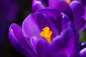 crocus macro wallpaper