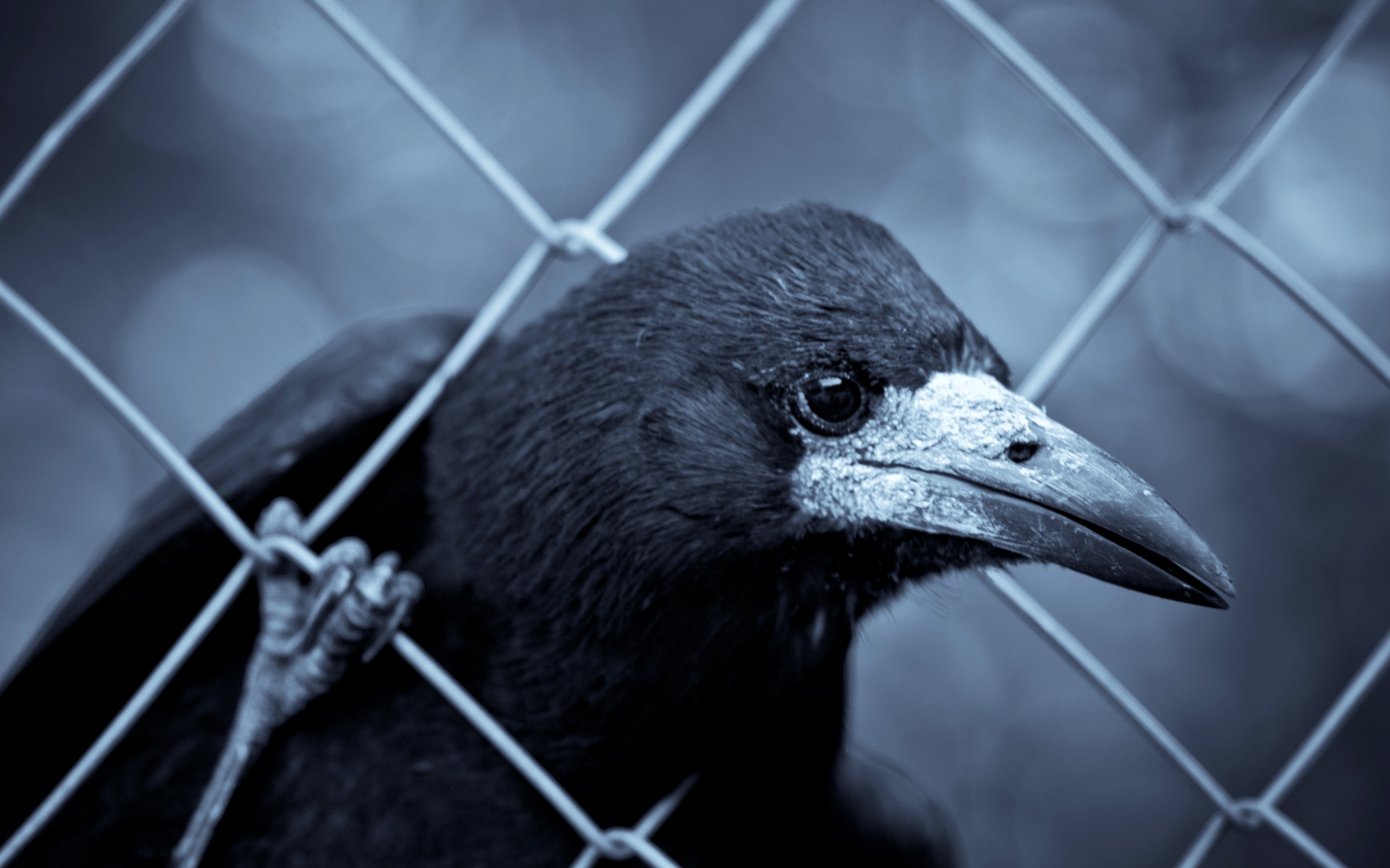 crow picture