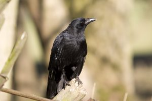 crow pictures