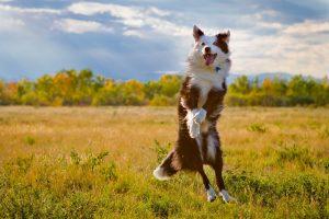 cute australian shepherd