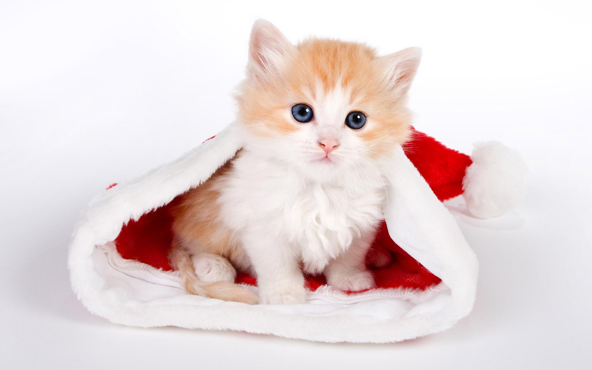 cute baby cat wallpaper