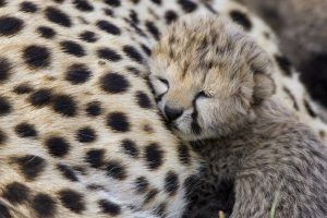 cute baby cheetah wallpaper