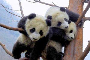 cute baby panda hd