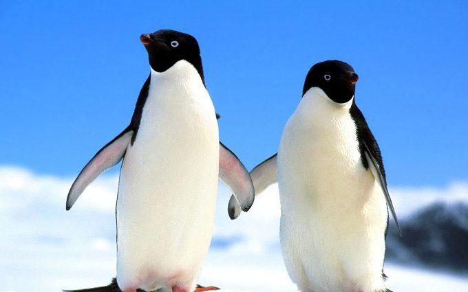 cute baby penguins A1