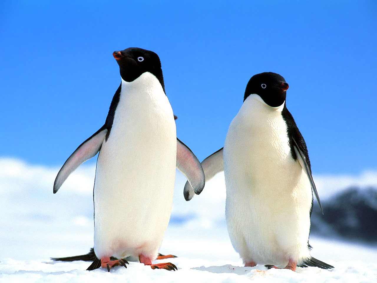 cute baby penguins A1