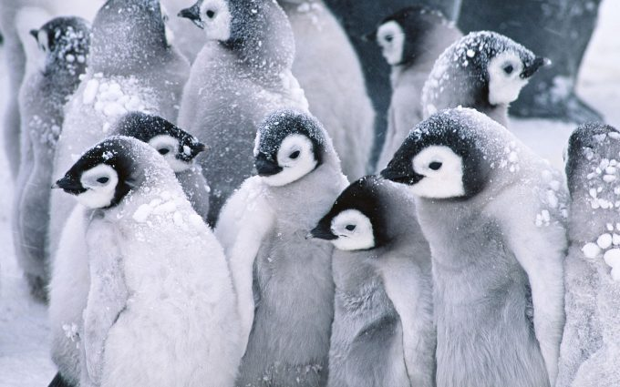 cute baby penguins A2