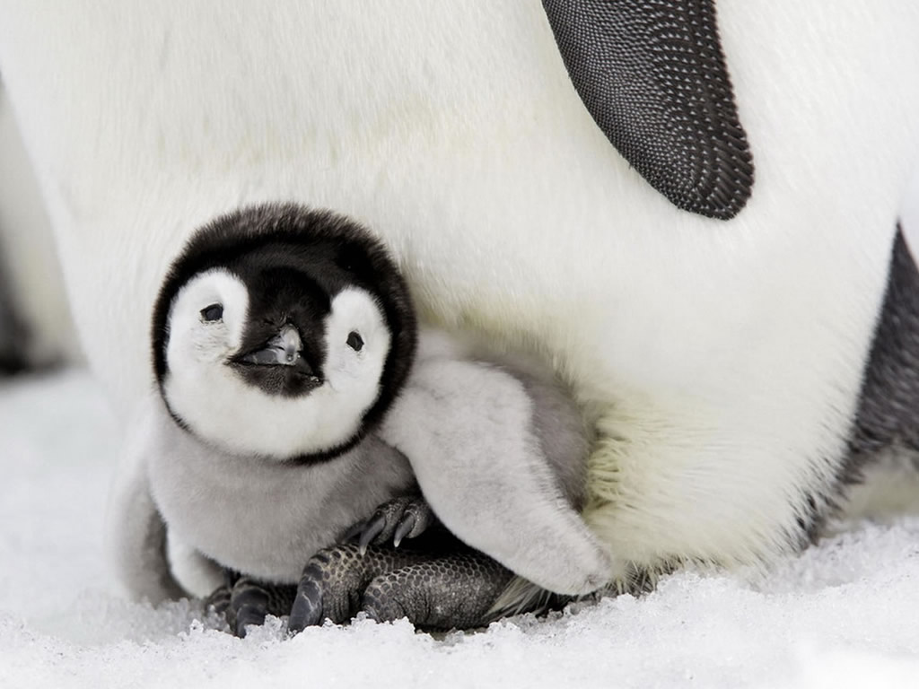 cute baby penguins A5