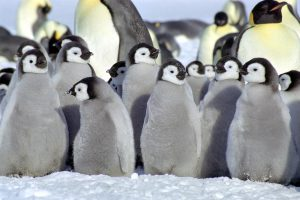 cute baby penguins A6