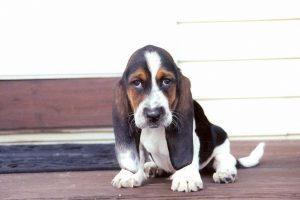 cute basset hound wallpaper