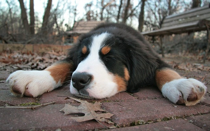 cute bernese dog