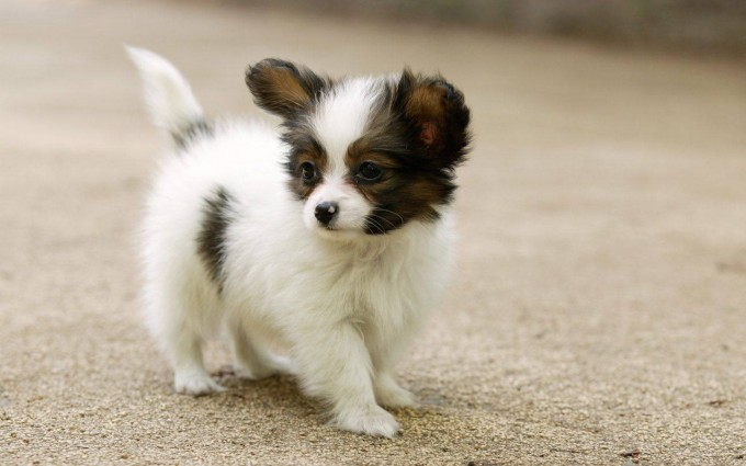cute dogs puppy A12