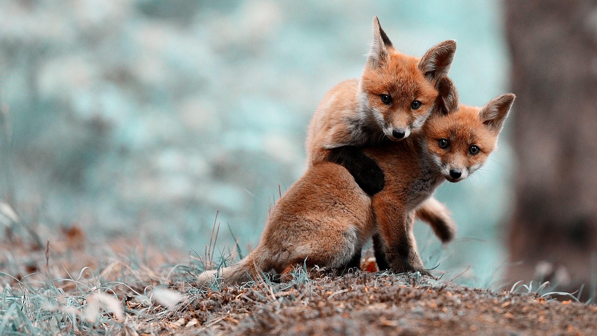 cute fox wallpaper