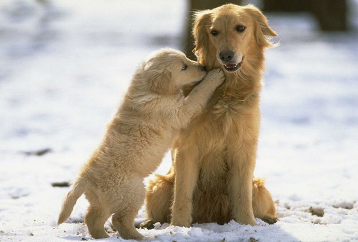 cute golden retriever hd